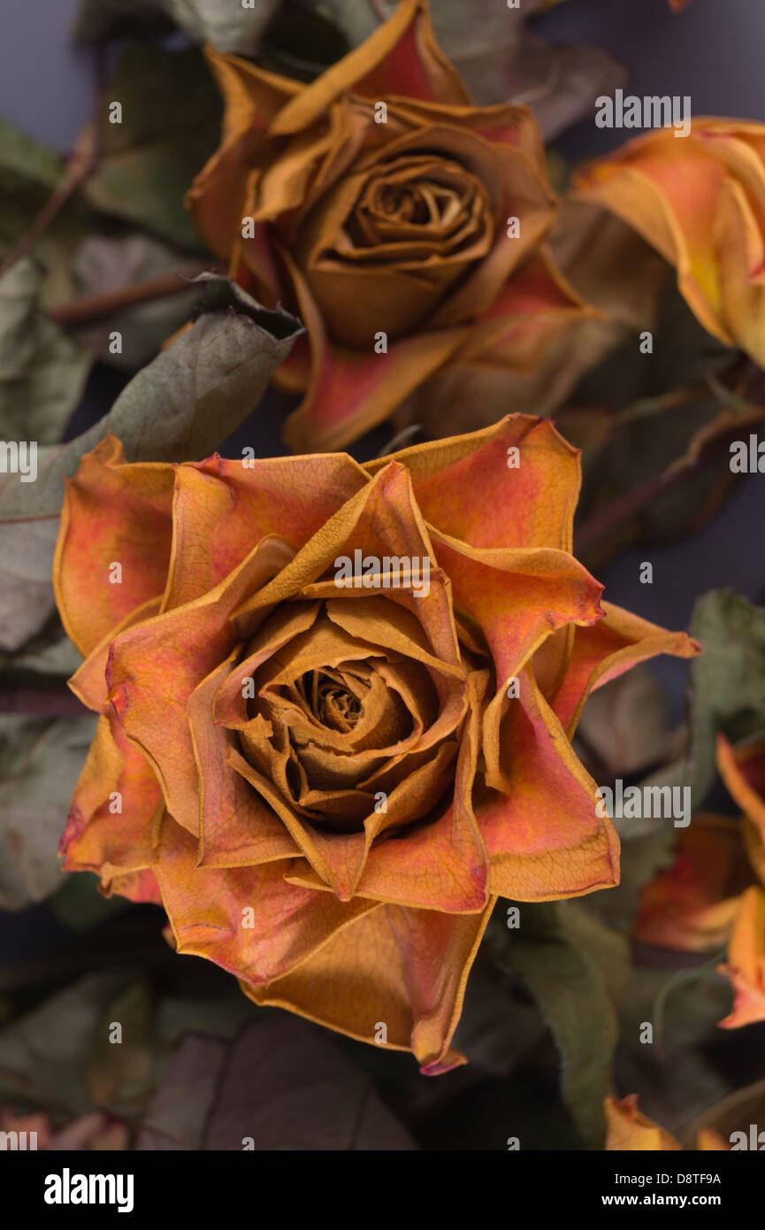 Old roses - faded, dried yellow roses. - Stock Image