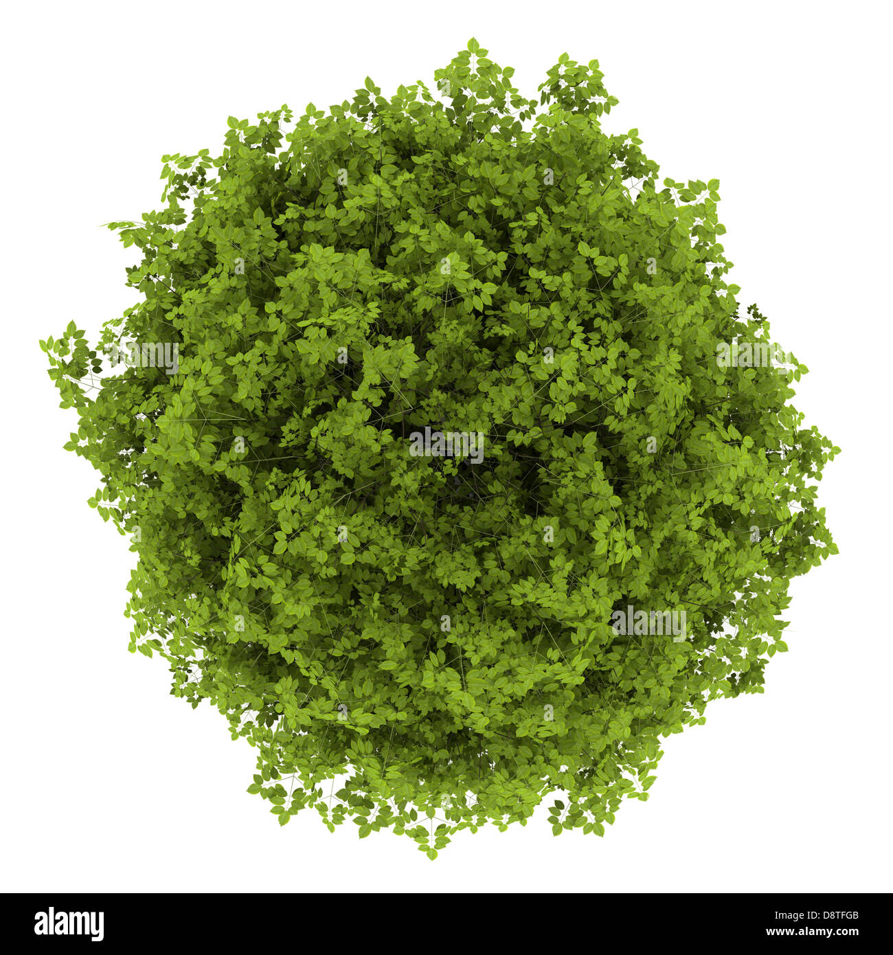 top view of euonymus verrucosa bush isolated - Stock Image