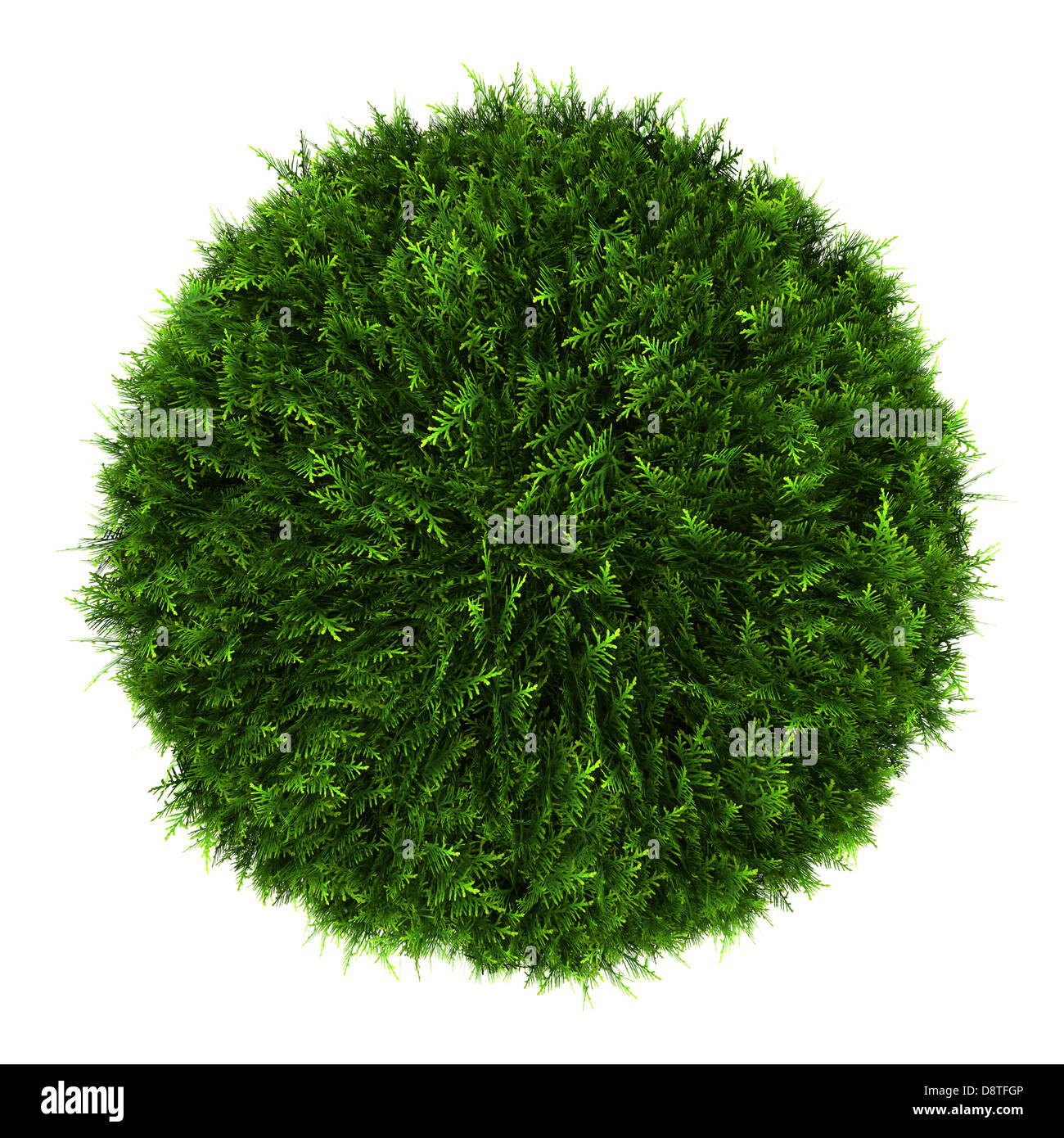 top view of eastern arborvitae bush isolated - Stock Image