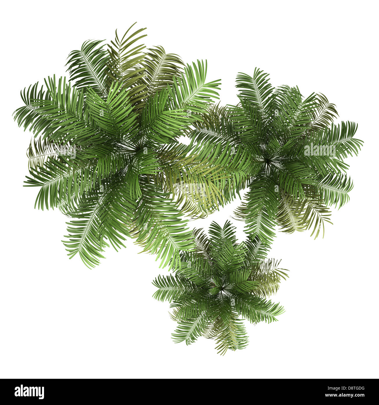 top view of three areca palm trees isolated - Stock Image