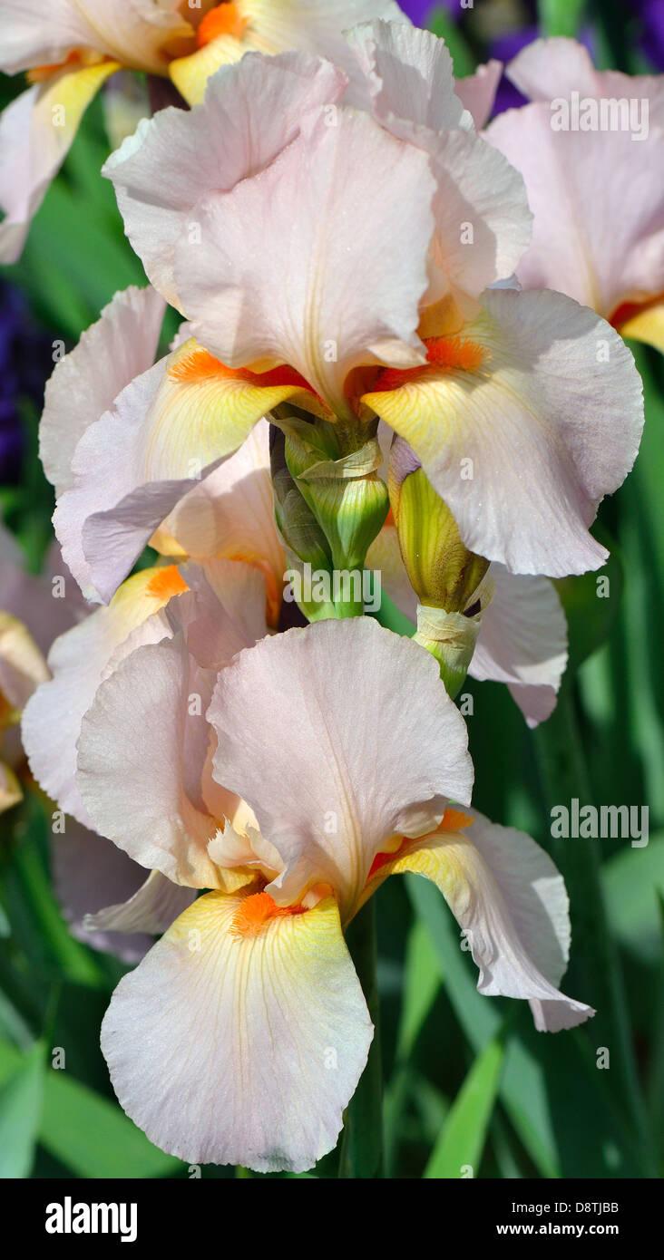 Pink Iris Stock Photos Pink Iris Stock Images Alamy