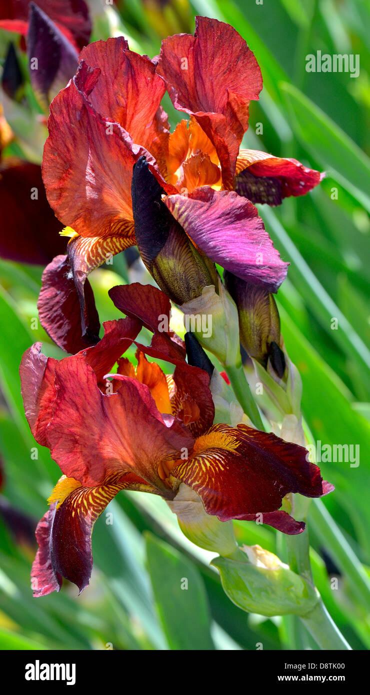 Brown iris flowers Stock Photo: 57090096 - Alamy