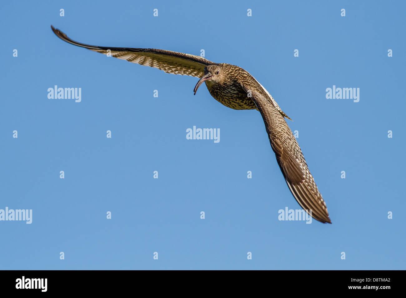 Curlew (numenius arquata) in flight calling with blue sky background Stock Photo