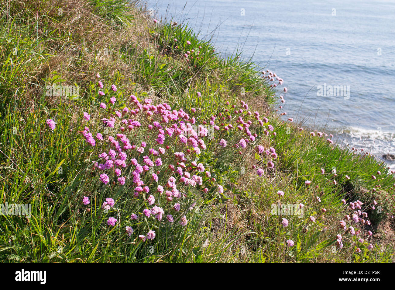 Sea pink or thrift wild flowers seen from the north sea coastal path sea pink or thrift wild flowers seen from the north sea coastal path as it passes through whitburn north east england uk mightylinksfo
