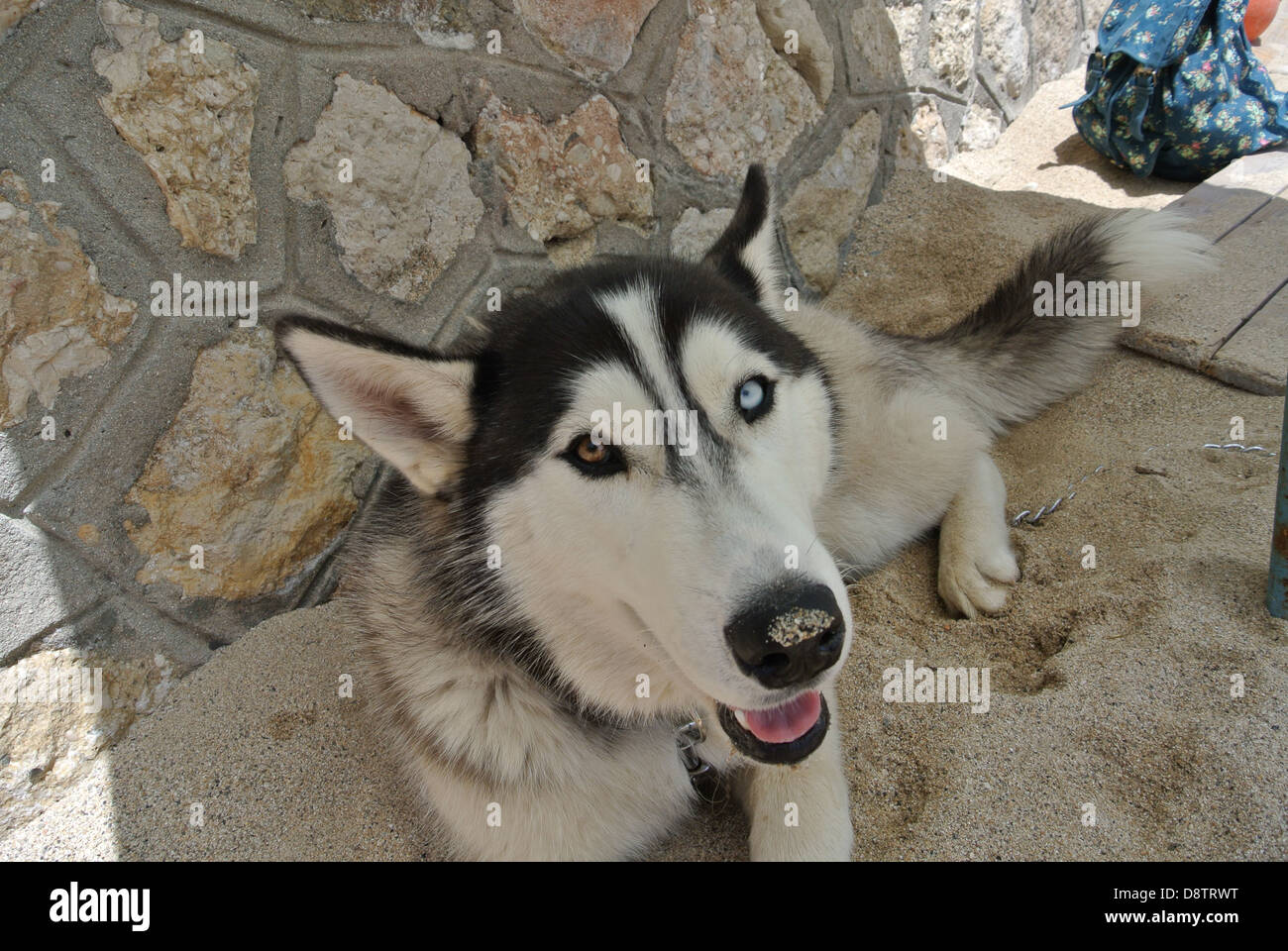 Husky Beech Dog with blue and ruby eyes and sand on nose. - Stock Image