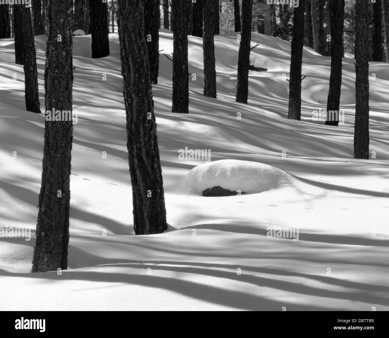 Fresh snow covers the ground allowing the trunks of the pine trees and their shadows to create a wonderful winter - Stock Image