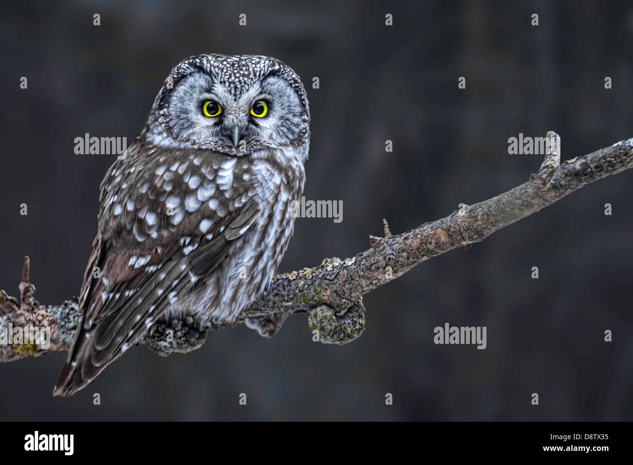 Royal Owl Stock Photos & Royal Owl Stock Images - Alamy on saw-whet owl house, great horned owl house, barred owl house, eastern screech owl house, western screech owl house,