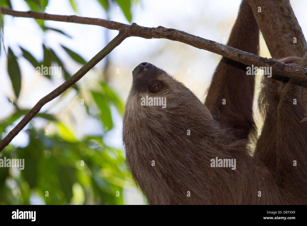 Brown-throated three-toed sloth, Bradypus variegatus, Cali Zoo, Cali, Colombia Stock Photo