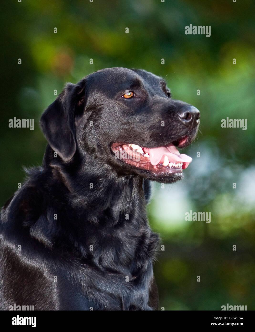Black Lab portrait, Labrador retriever (Canis lupus familiaris) Stock Photo