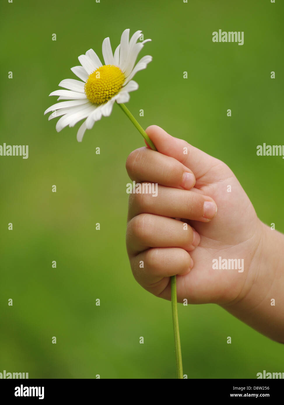 Little Child Hand Daisy Flower Stock Photos Little Child Hand