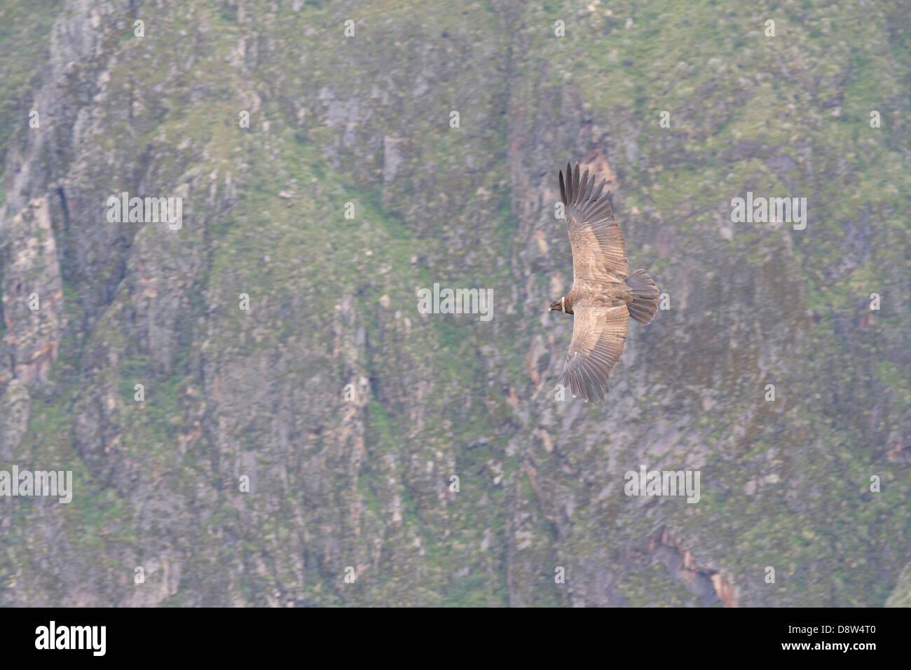 An Andean Condor soars over southern Peru's Colca Canyon, Peru - Stock Image