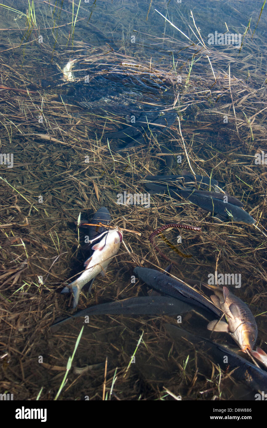 dead fish in polluted pond, ecological disaster - Stock Image