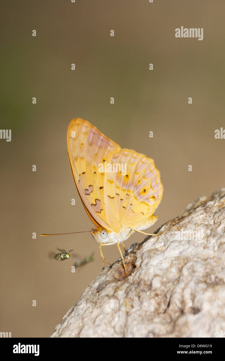 The Common Leopard Phalanta phalantha is a sun-loving butterfly of the Nymphalid or Brush-footed Butterfly family. - Stock Image