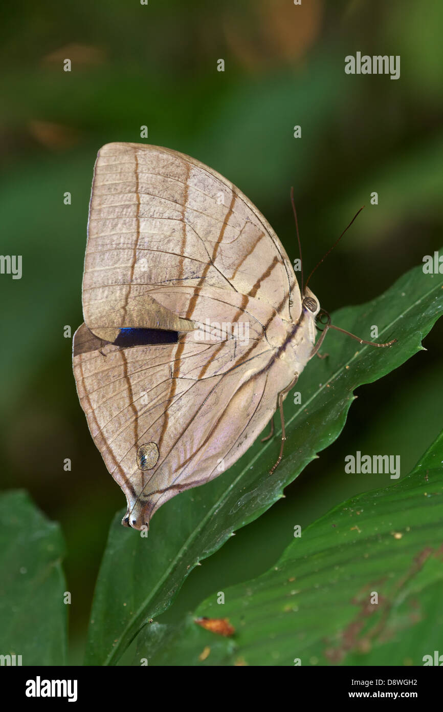 The Koh-i-noor (Amathuxidia amythaon) is a butterfly found in Asia. - Stock Image