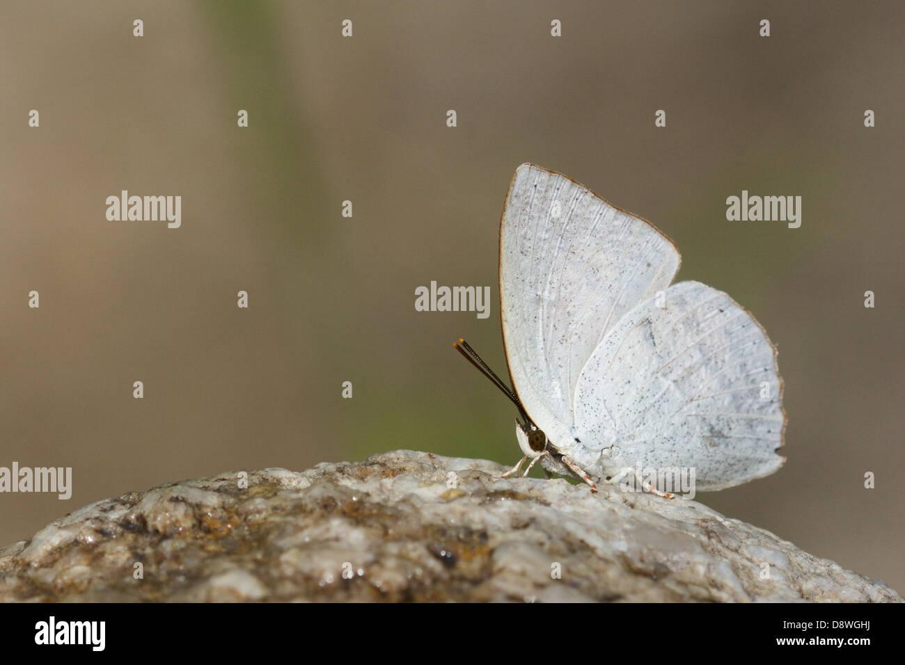 The Malayan Sunbeam, Curetis santana malayica. Chaloem Phrakiat Thai Prachan National Park, Thailand. - Stock Image