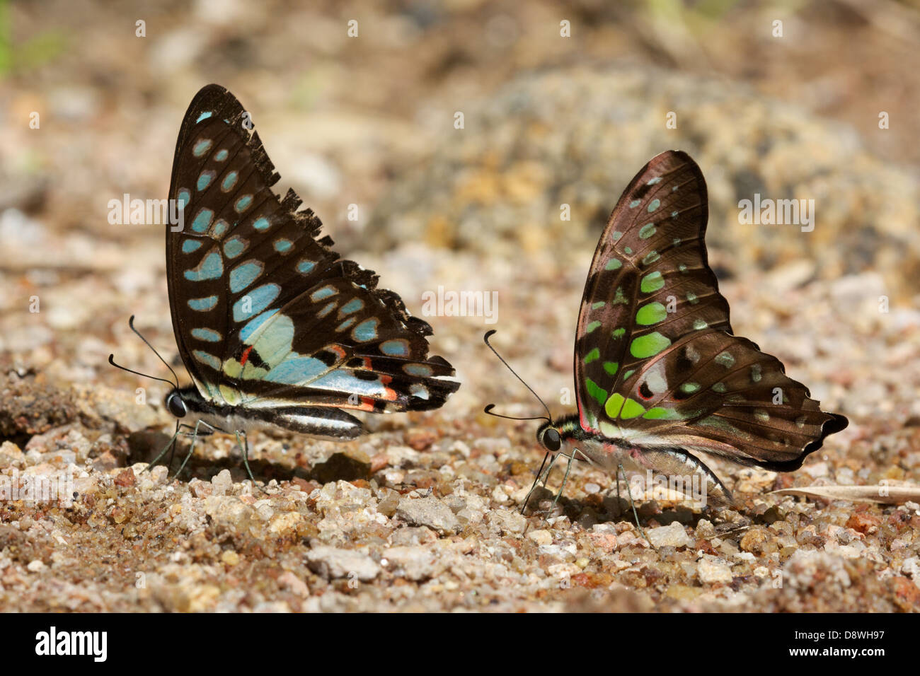 The Common Jay (Graphium doson evemonides) and The Tailed Jay (Graphium agamemnon agamemnon) - Stock Image
