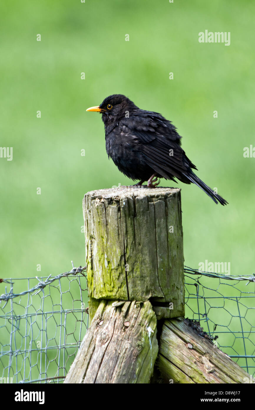 Blackbird with deformed leg on fence post against out of focus background - Stock Image