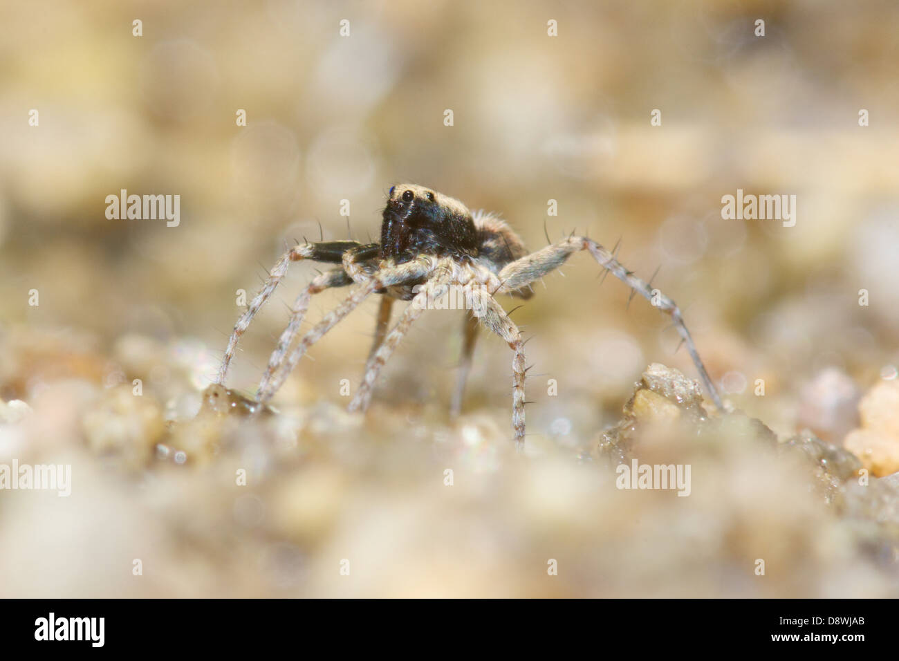 Wolf Spider, Pardosa sp. This tiny spider is just 5 mm long and seen hunting on a forest stream river bank. Thailand. - Stock Image