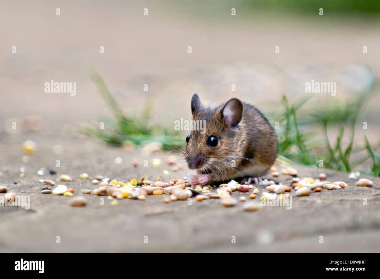 Wood mouse, also known as field or long-tailed mouse eating bird seed on patio in garden with out of focus background - Stock Image