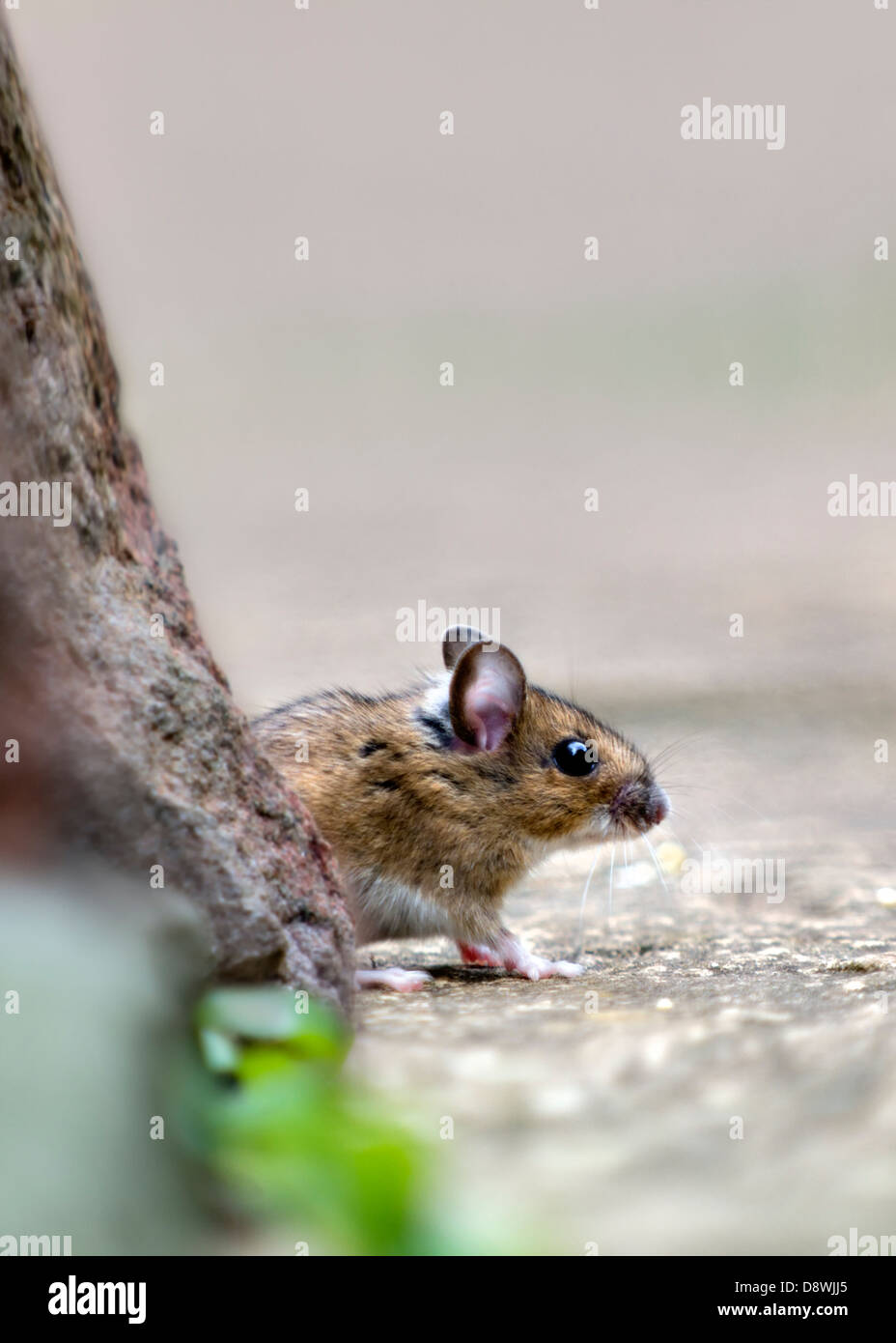 Wood mouse, also known as field or long-tailed mouse cautiously coming out from under rock pile to feed - Stock Image