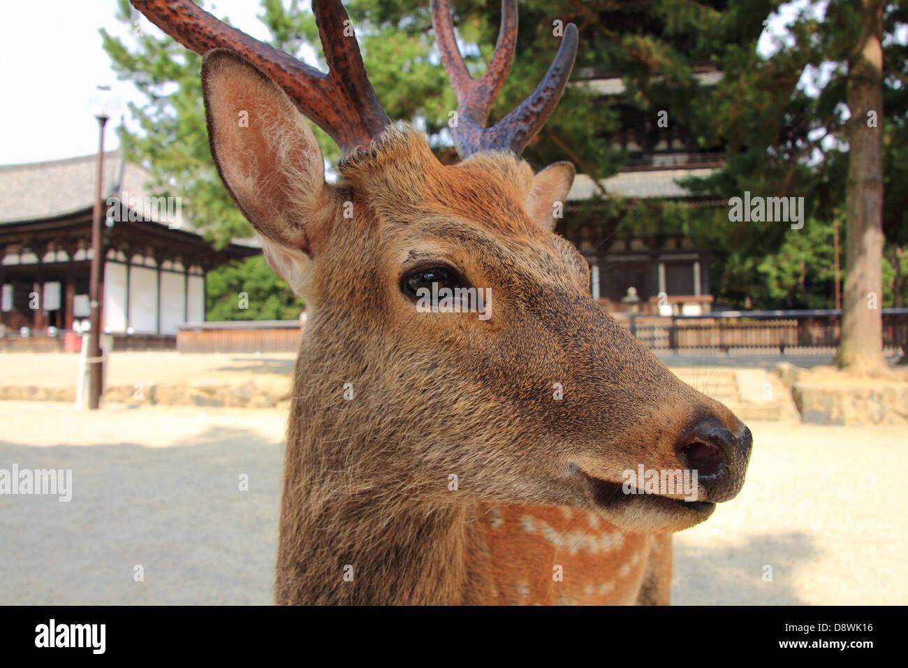 Sika Deer in Nara Park, Nara, Japan Stock Photo