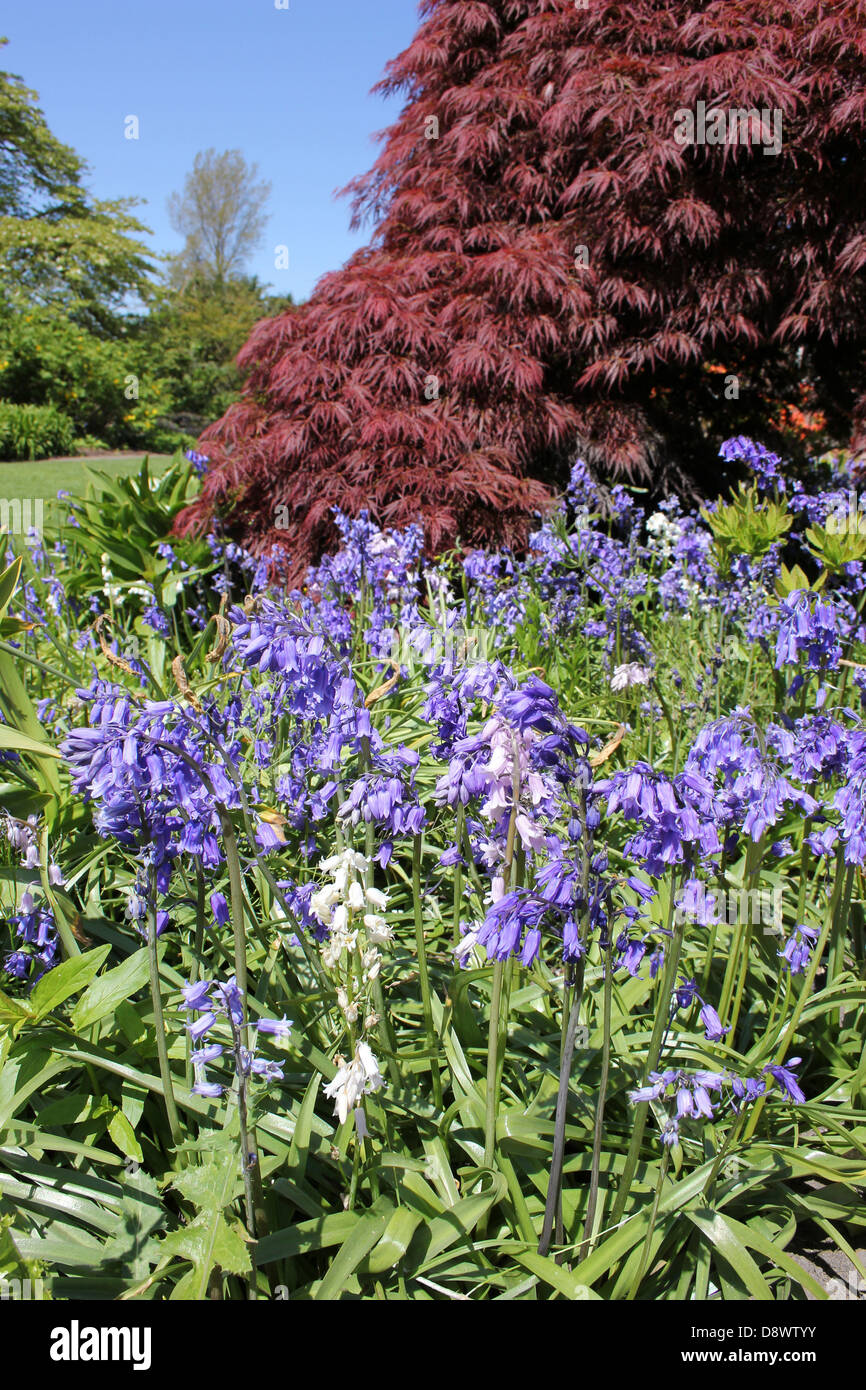 Flowering Bluebells In Front On an Acer - Stock Image