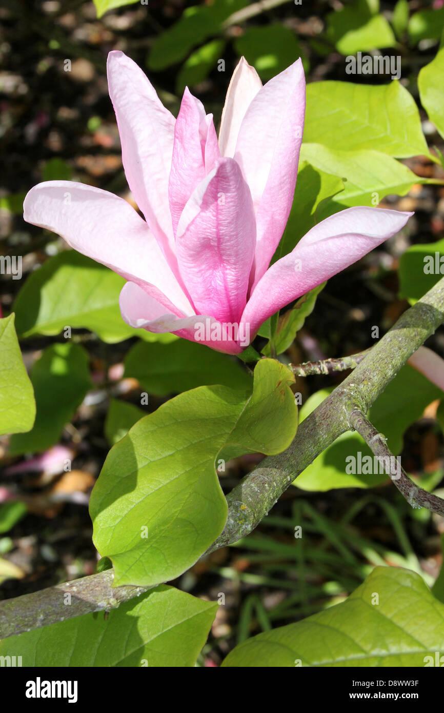 Pink Magnolia 'Susan' Flower Stock Photo