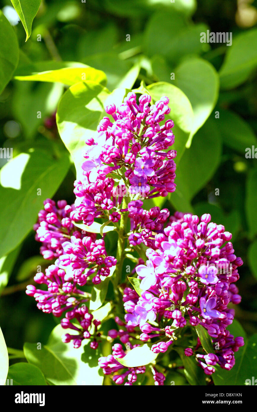 Syringa vulgaris (Common Lilac) flowers in close-up. - Stock Image