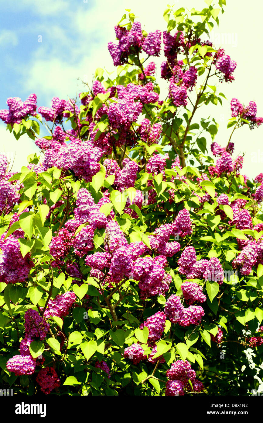 Part of a Lilac tree against the sky. - Stock Image