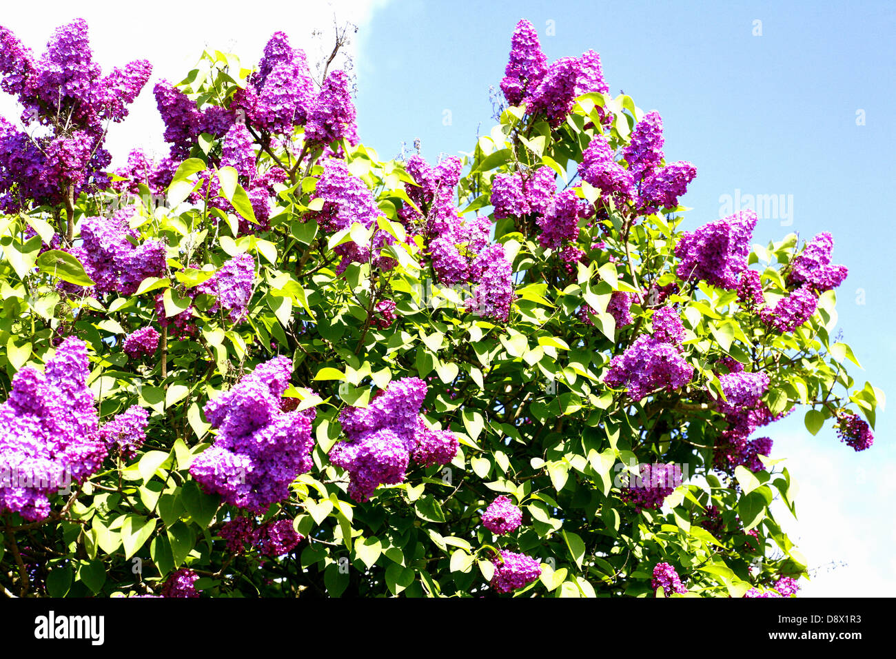 Part of a common Lilac tree against the sky. - Stock Image