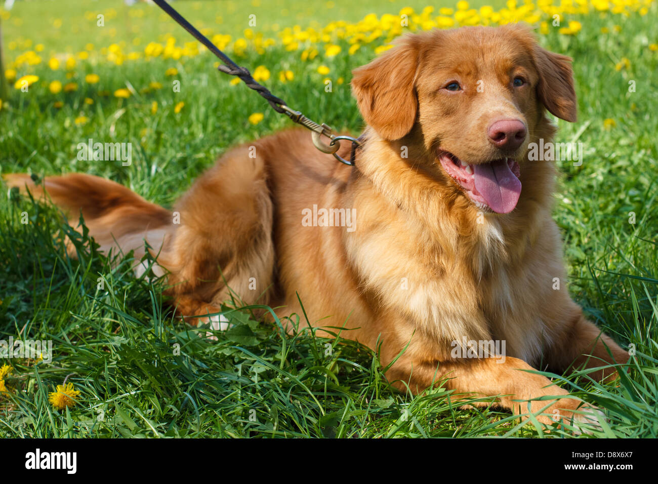 smiling red gun dog breed Nova Scotia Duck Tolling Retriever (Toller) lying on a green lawn blooming - Stock Image