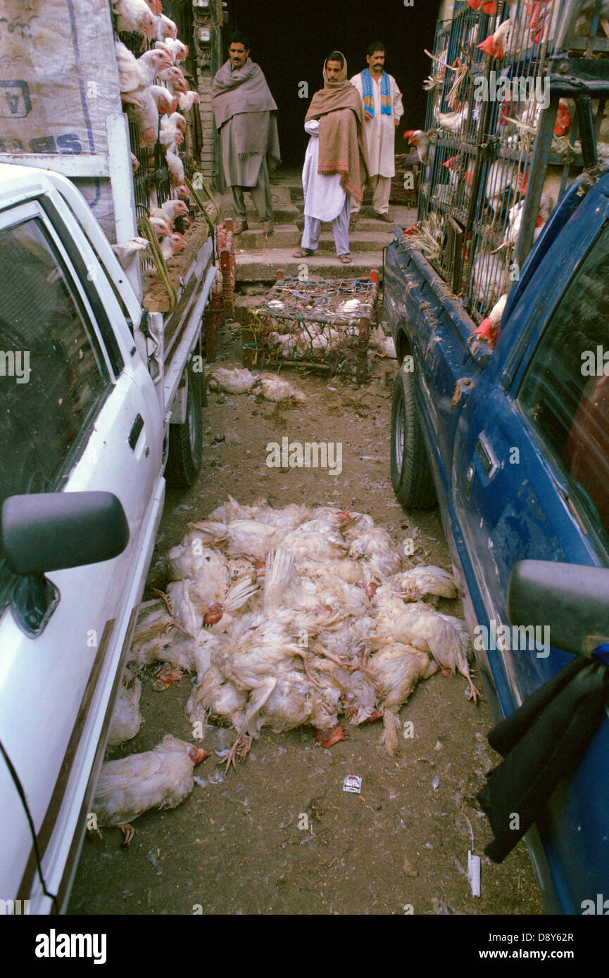 Dead chicken are on the ground between two cars. They died due to bad production conditions ( Pakistan) - Stock Image