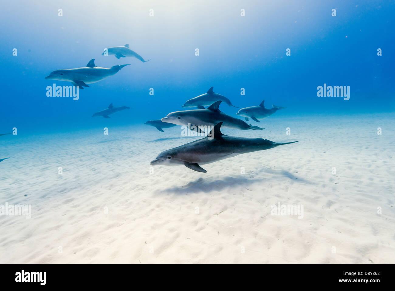 Bottlenose dolphins, Tursiops truncatus, Bahamas - Stock Image