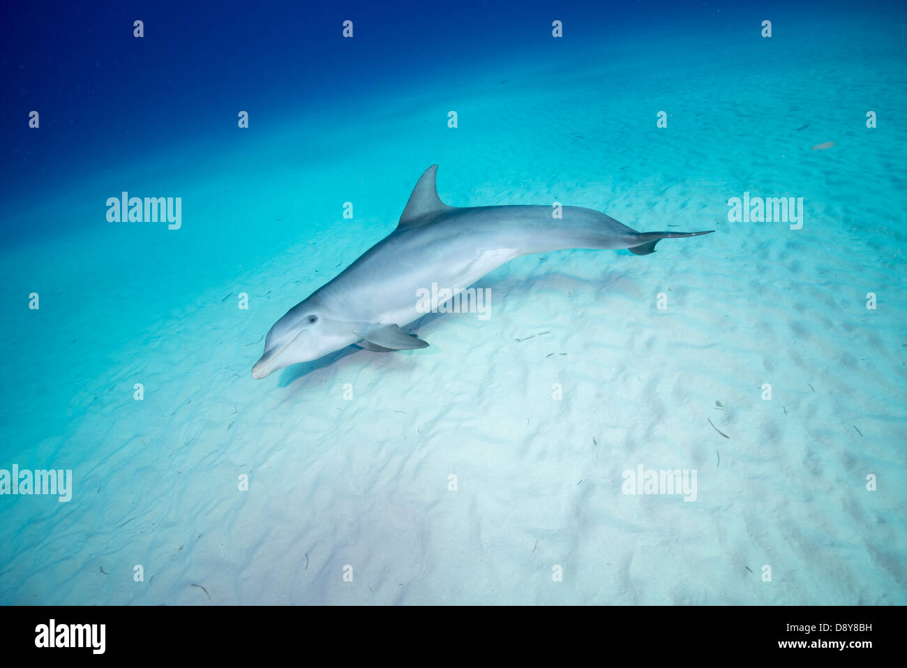 Bottlenose dolphin, Tursiops truncatus, Bahamas - Stock Image