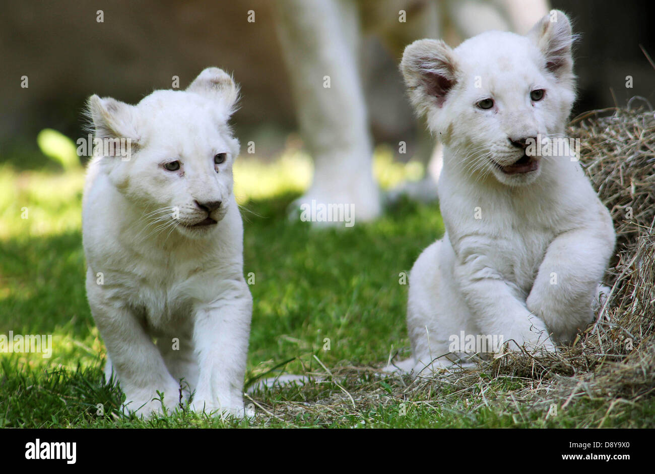 """Rhenen, The Netherlands. 06 June 2013. African white lions """"Inkosi"""" and """"Ilumbo"""" pose at Ouwehand Zoo in  Rhenen, 06 June 2013. The rare African white lions were born on 06 March 2013.  The past months the youngsters and their mother Bandhura kept behind the scenes and were not visibly for the public. Ouwehand Zoo offered the rare white cubs to the new Dutch royal couple. Ouwehand got this idea because the little lions are a male and a female, and this is popularly known as a """"royal couple"""". Photo: VidiPhoto/dpa/Alamy Live News Stock Photo"""