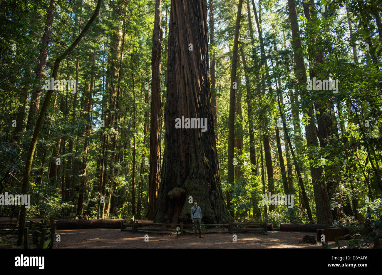 Man standing beneath redwood tree at Henry Cowell Redwoods - Stock Image