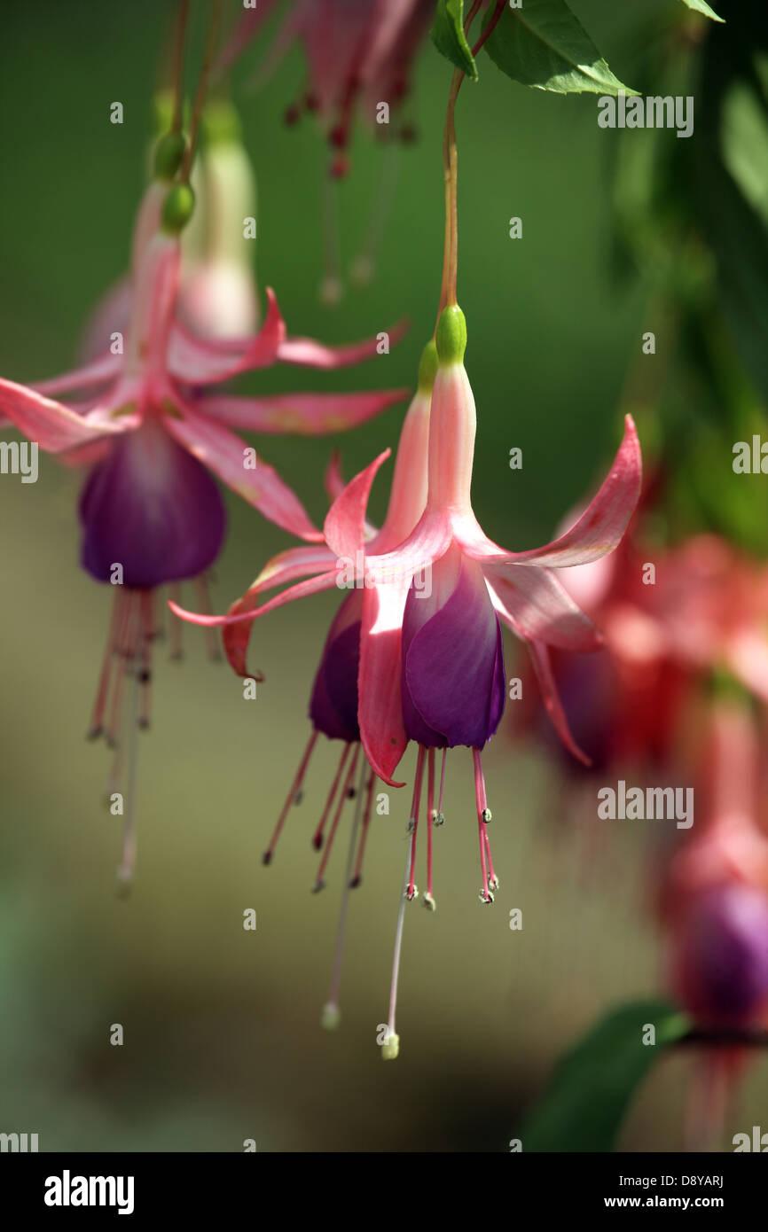 Fushia flowers - Stock Image