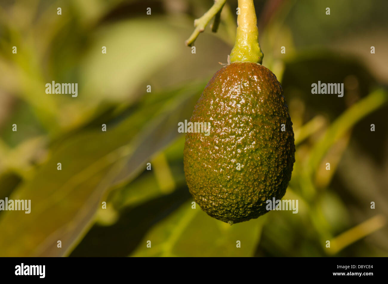 how to grow hass avocado tree in florida