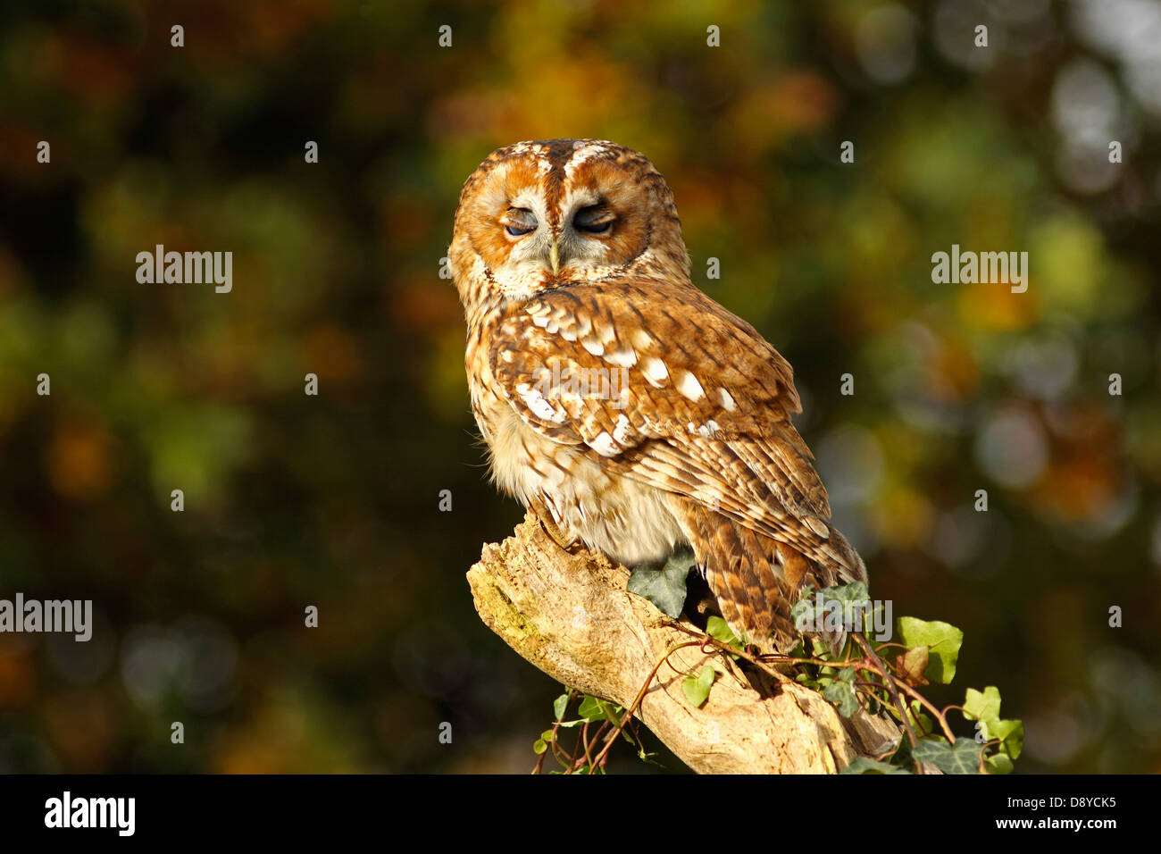 Tawny owl Strix aluco Perched on ivy covered branch eyelids half closed North Wales UK British Isles Cymru Great - Stock Image