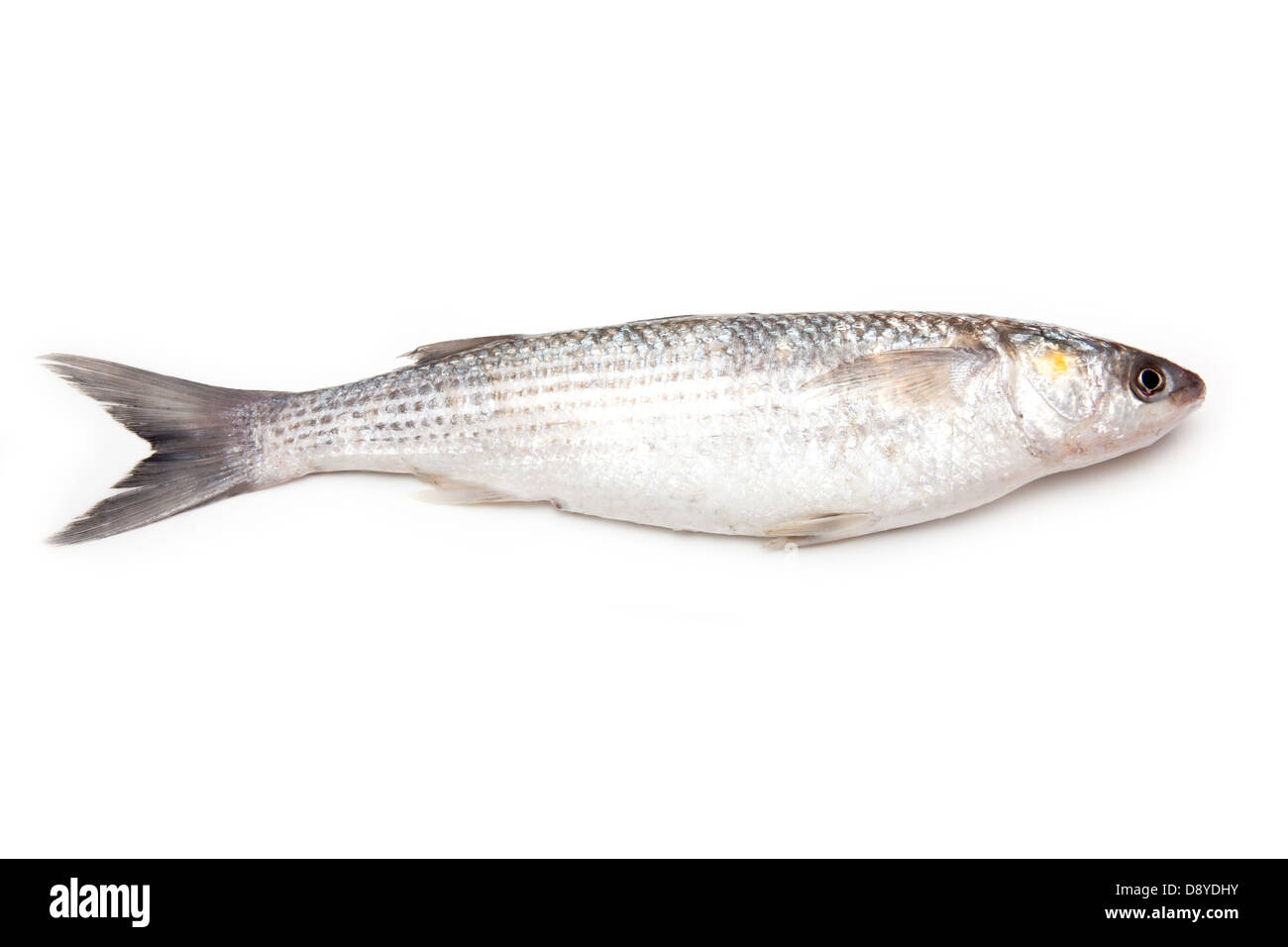 how to catch grey mullet nz