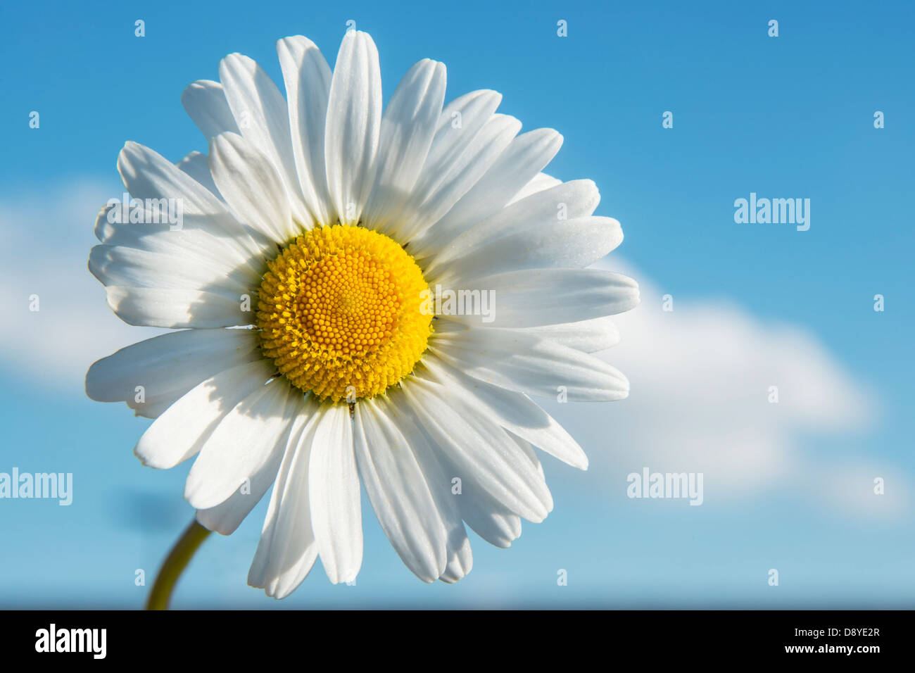 Closeup of Marguerite with blue sky in spring Stock Photo