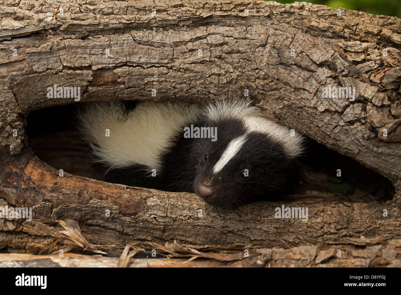 Striped skunk (Mephitis mephitis) , New York, young - Stock Image