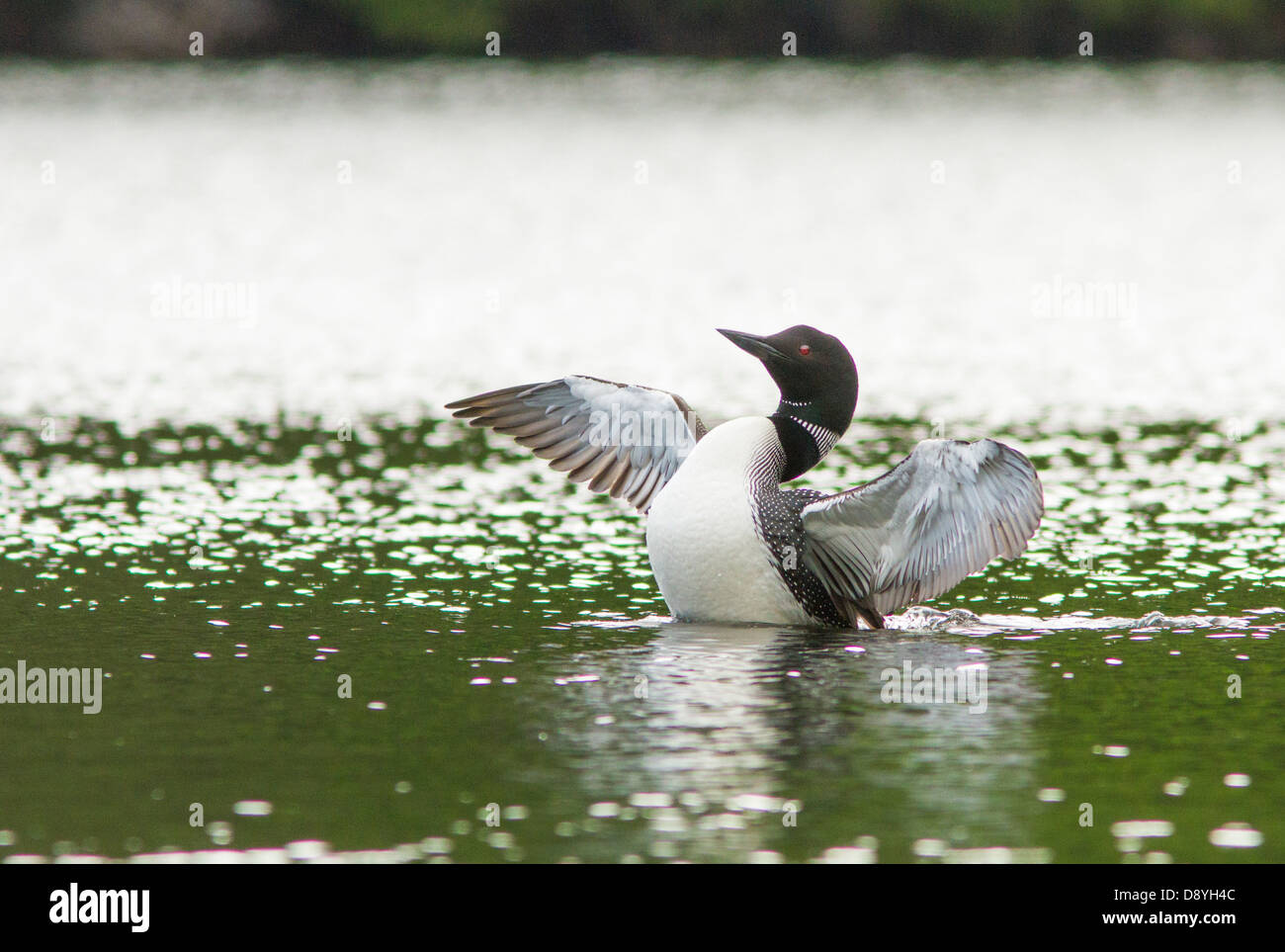 Common Loon (Gavia immer) Displaying on a Lake - Stock Image