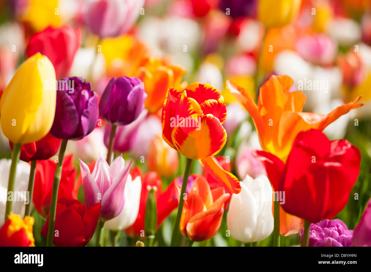 Tulips. Close up of mix many different multi colored coloured Dutch tulips in a garden border near Amsterdam Holland - Stock Image