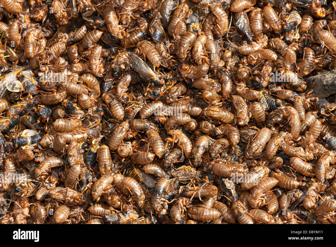 Molted skins (exuviae) and mostly dead 17-year periodical cicadas (Magicicada septendecim) cover the ground under - Stock Image