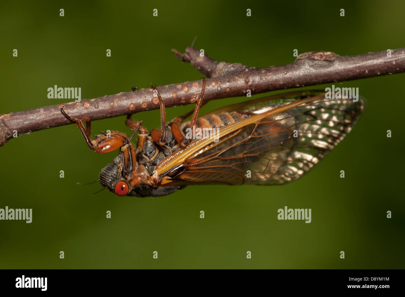 An adult Brood II 17-year periodical cicada (Magicicada septendecim) clings to a twig after emerging from its nymphal - Stock Image