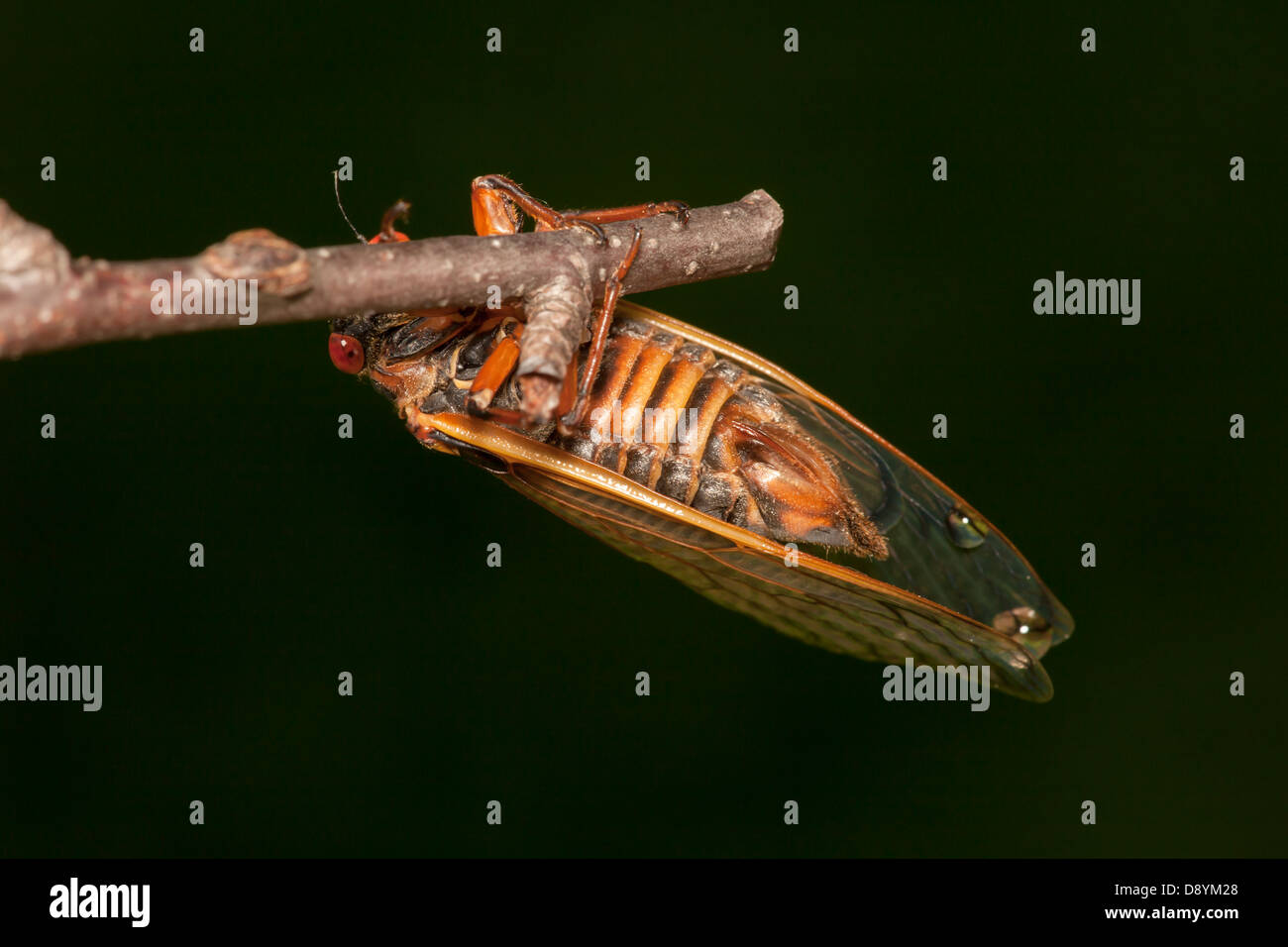 An adult female 17-year periodical cicada (Magicicada septendecim) clings to a twig after emerging from its nymphal - Stock Image