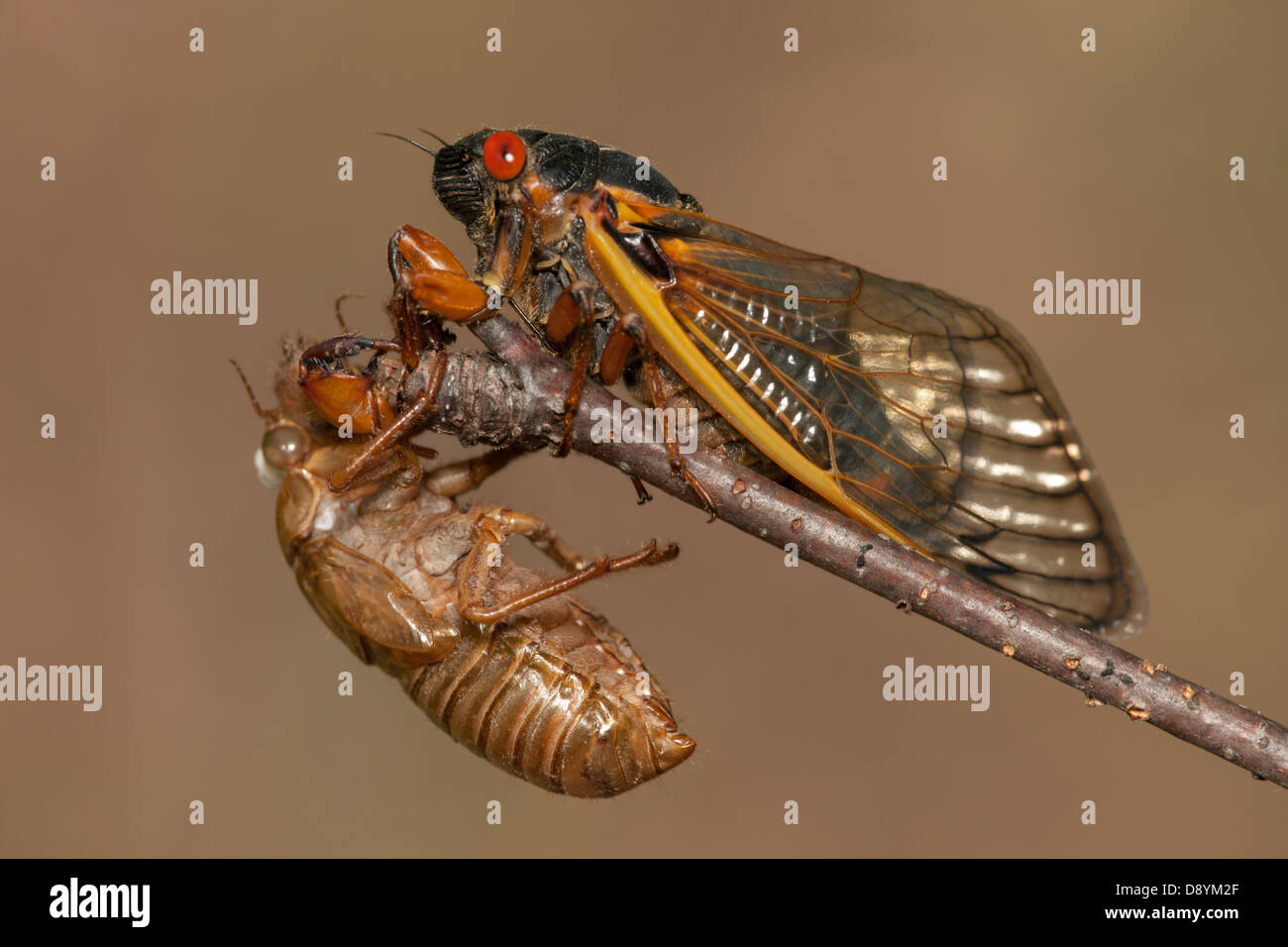 An adult 17-year periodical cicada (Magicicada septendecim) clings to a twig above its recently shed skin (exuvia) - Stock Image