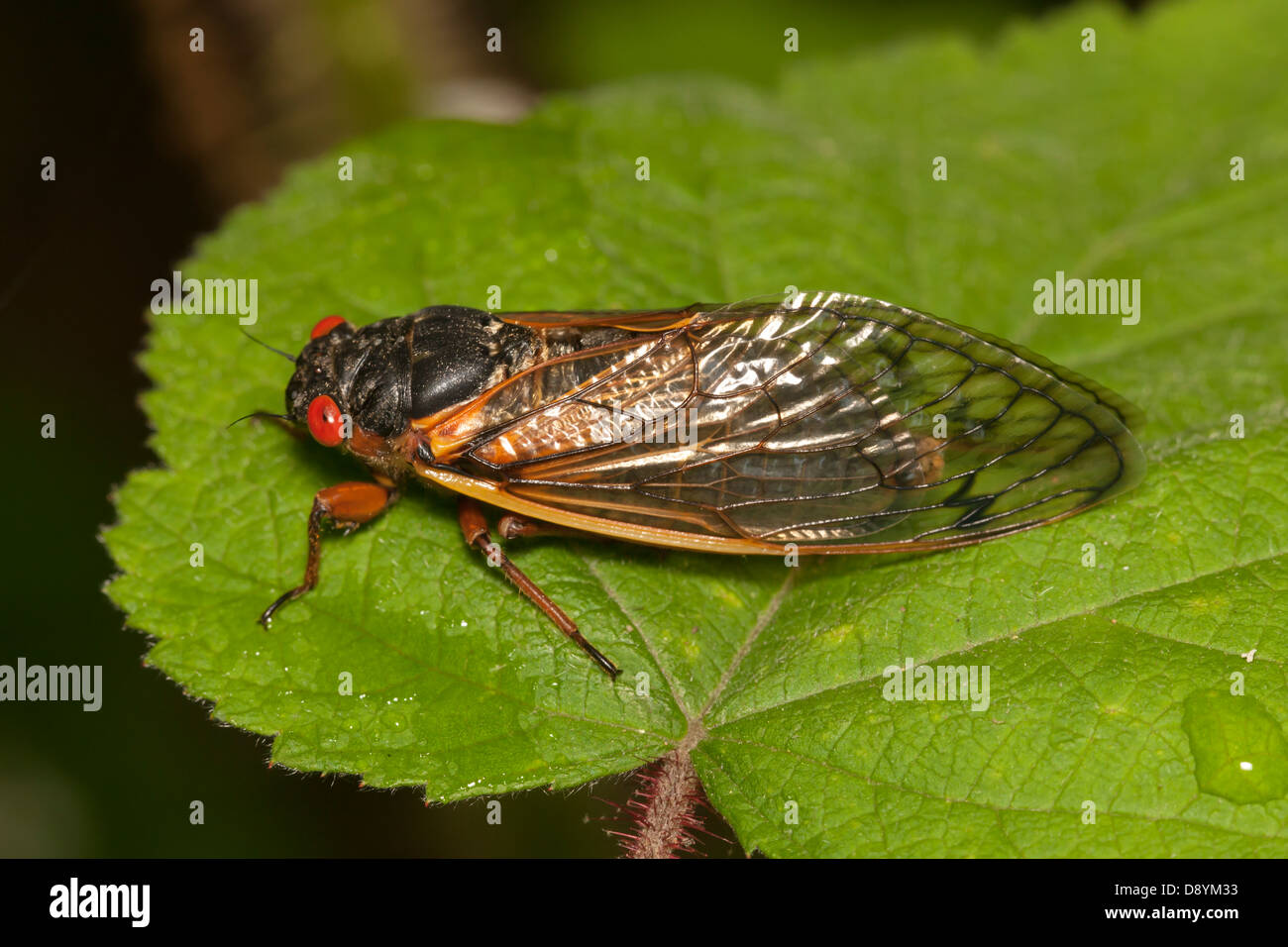 An adult Brood II 17-year periodical cicada (Magicicada septendecim) perches on vegetation after emergene from its - Stock Image