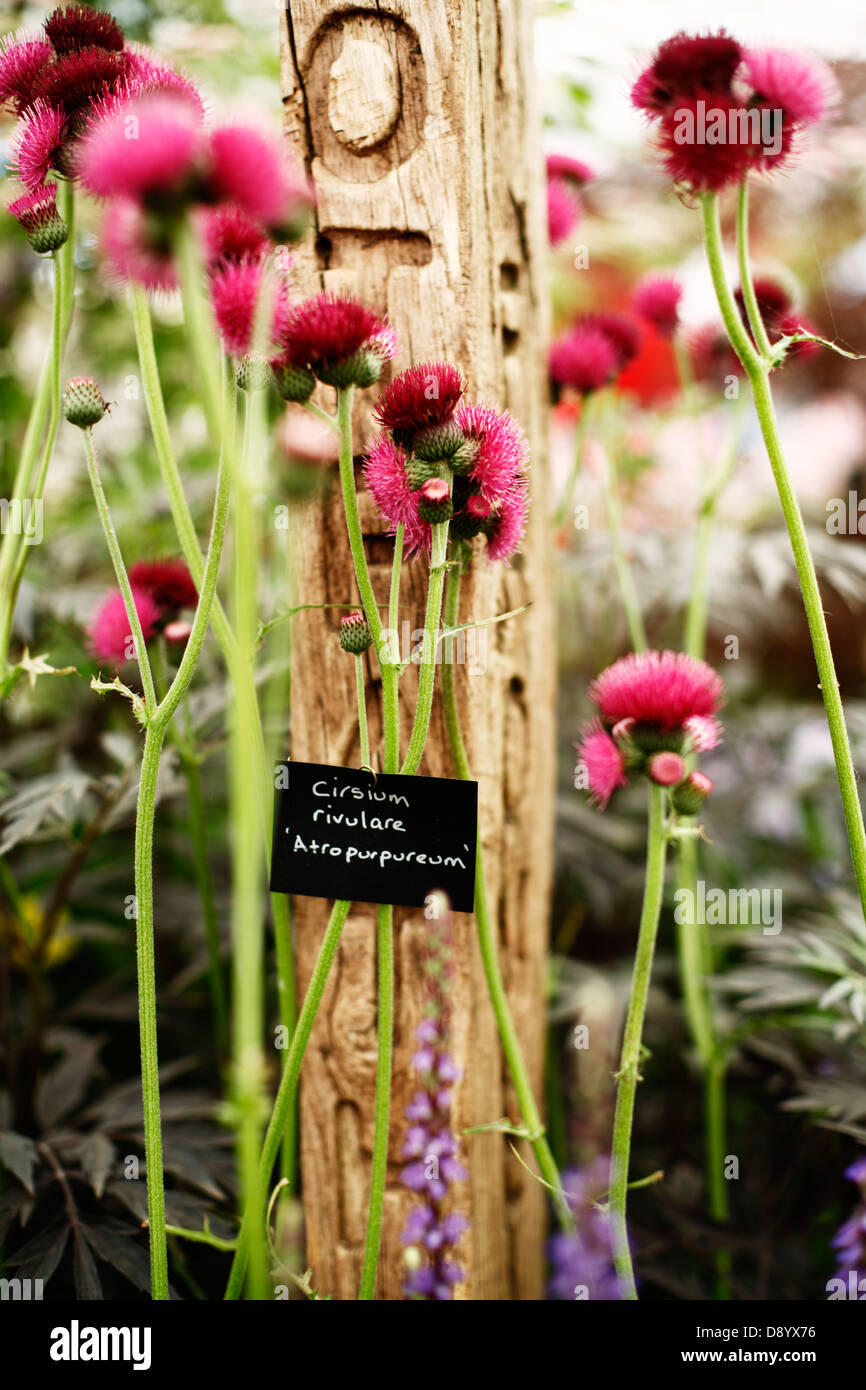Cirsium rivulare, Chelsea flowershow, London, Great Britain. - Stock Image